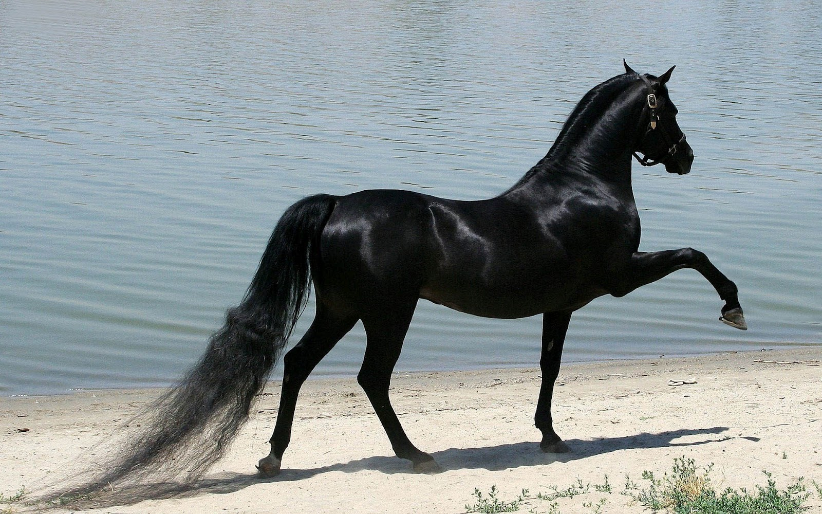 45 Black Horse Wallpaper Hd On Wallpapersafari