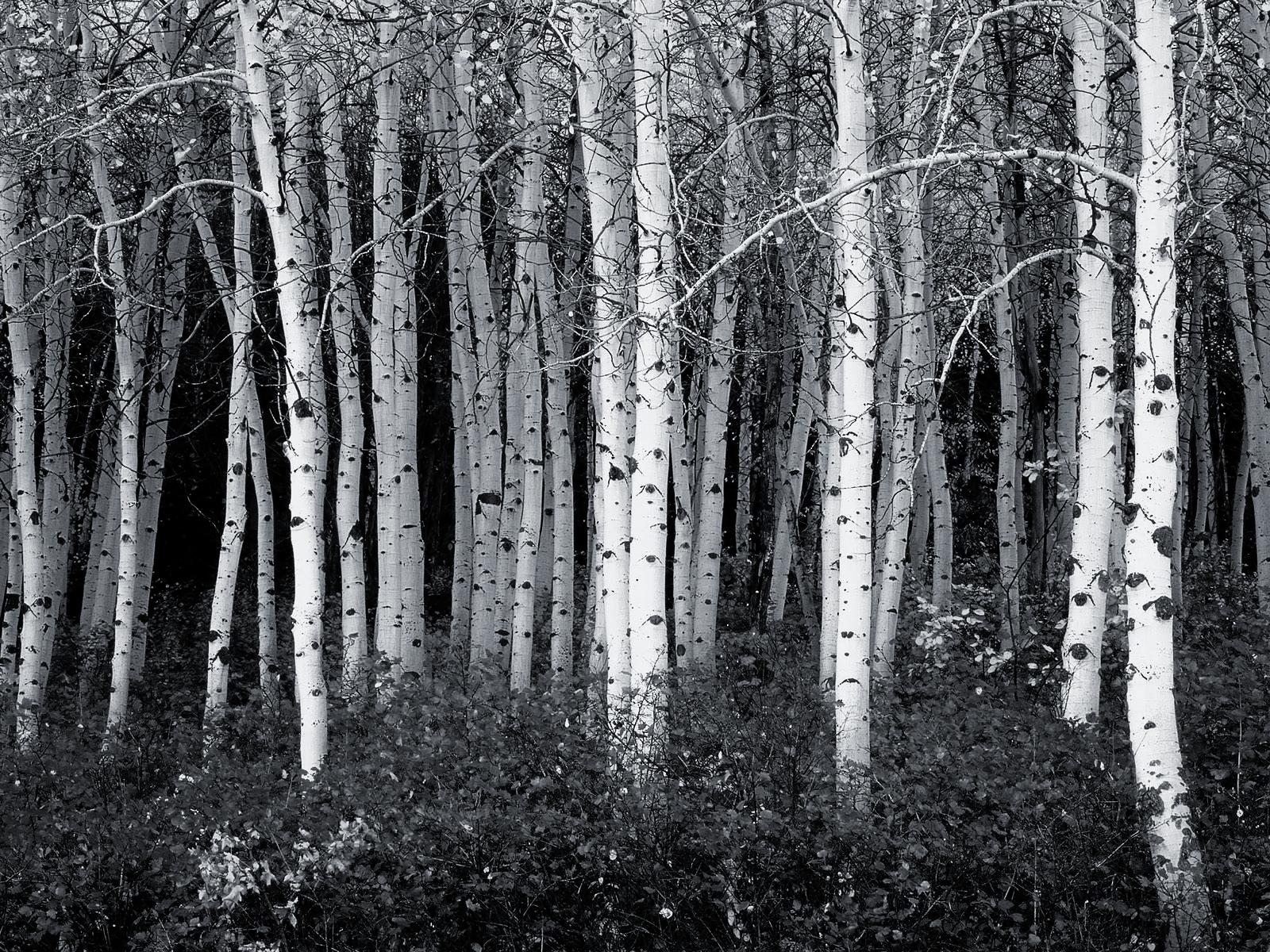 black and white aspen forest wallpaper corporate socialist glenn 1600x1200