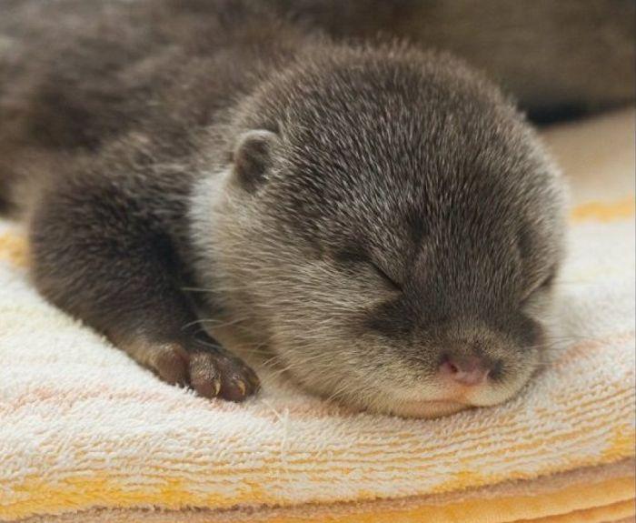 month old baby otters from Aquarium Kaiyukan in Osaka Japan 700x575