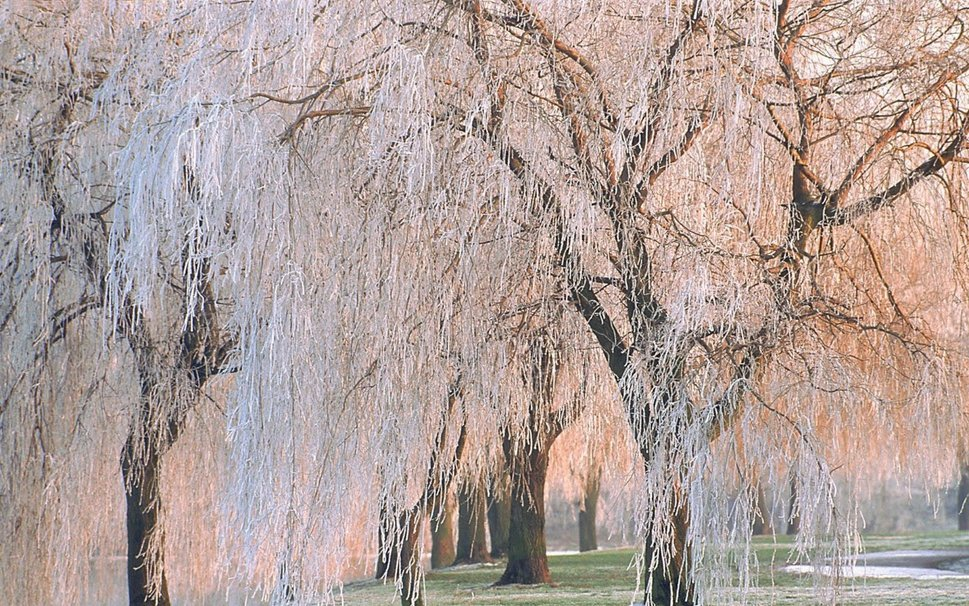 FROSTED WEEPING WILLOW wallpaper   ForWallpapercom 969x606