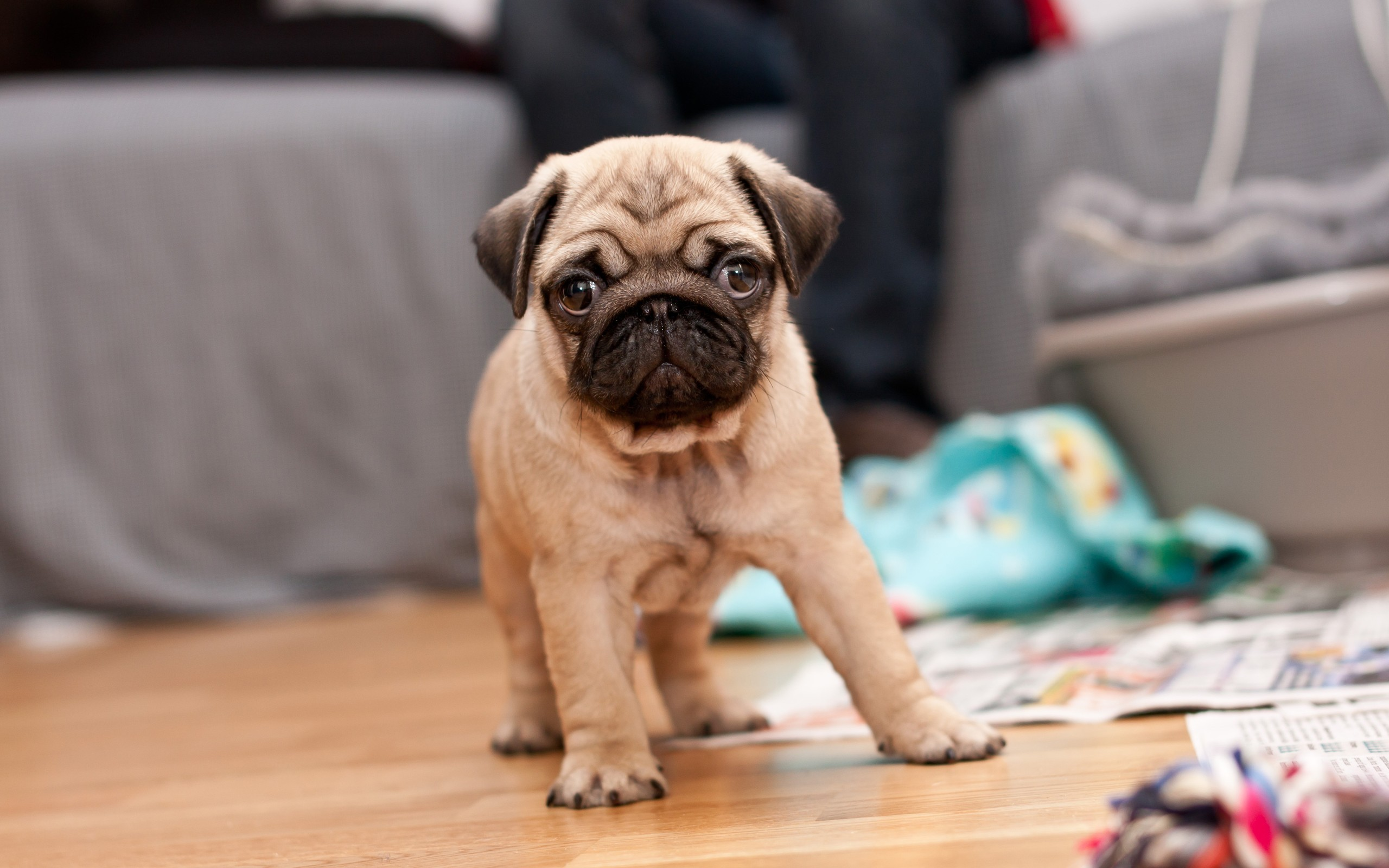 Pug puppy on the floor wallpaper   1070307 2560x1600