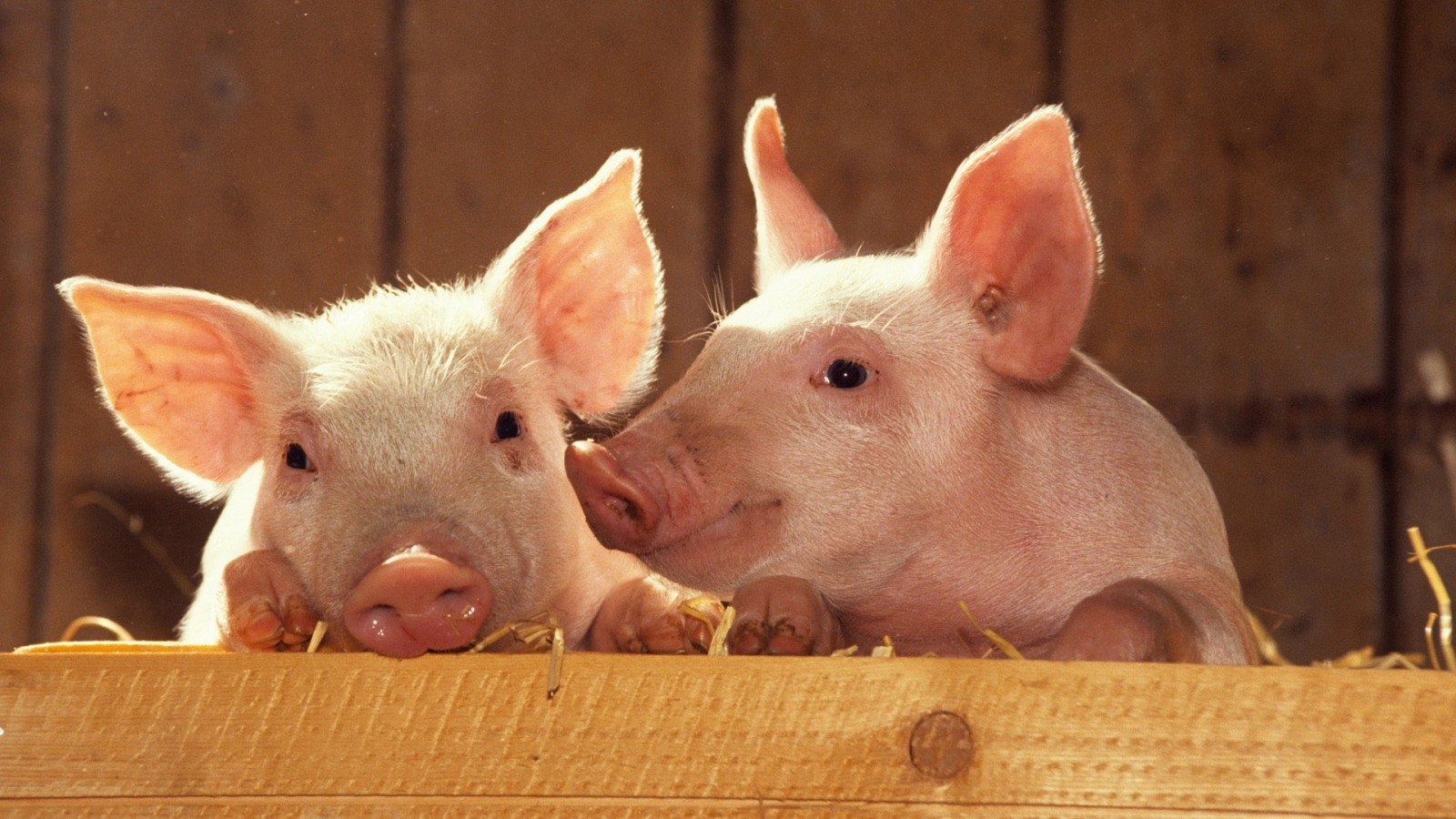 Animal   Pig Pigs Cute Wallpaper 1600x900