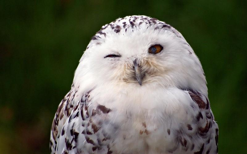 Snowy Owl Bird HD Wallpaper   Android Apps on Google Play 800x500