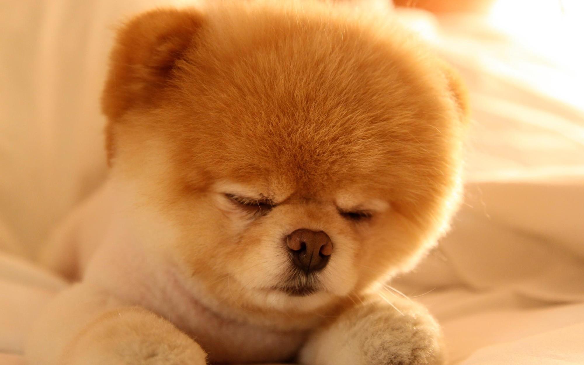 de pantalla el perro hermoso boo hd widescreen Gratis imagenes 9985 2000x1250