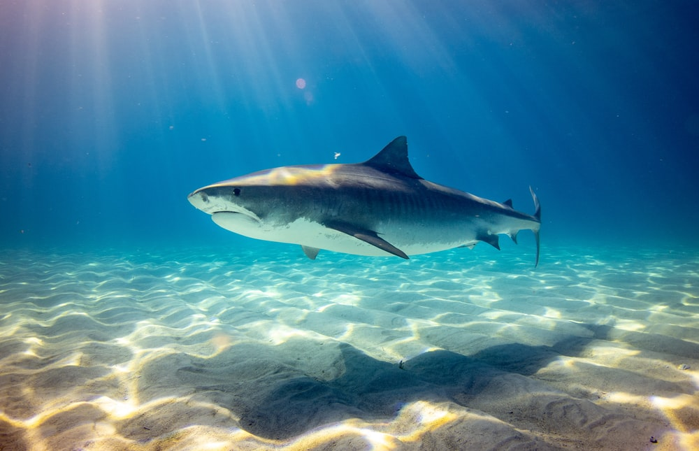 Shark Wallpapers HD Download [500 HQ] Unsplash 1000x645