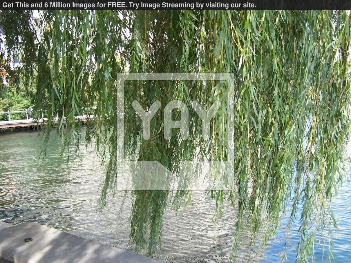 Weeping Willow Wallpaper 1210x907