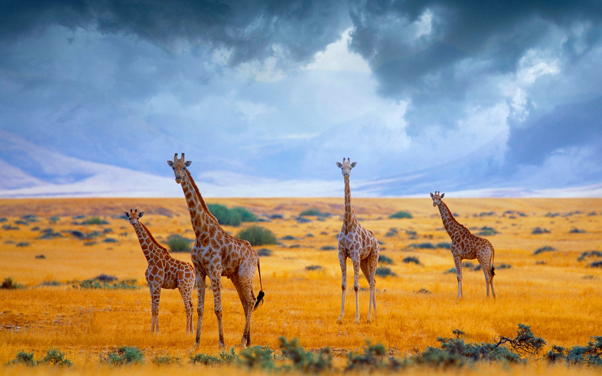 Giraffes in savannah JungleSavannah animals Giraffe Animals 1920x1200