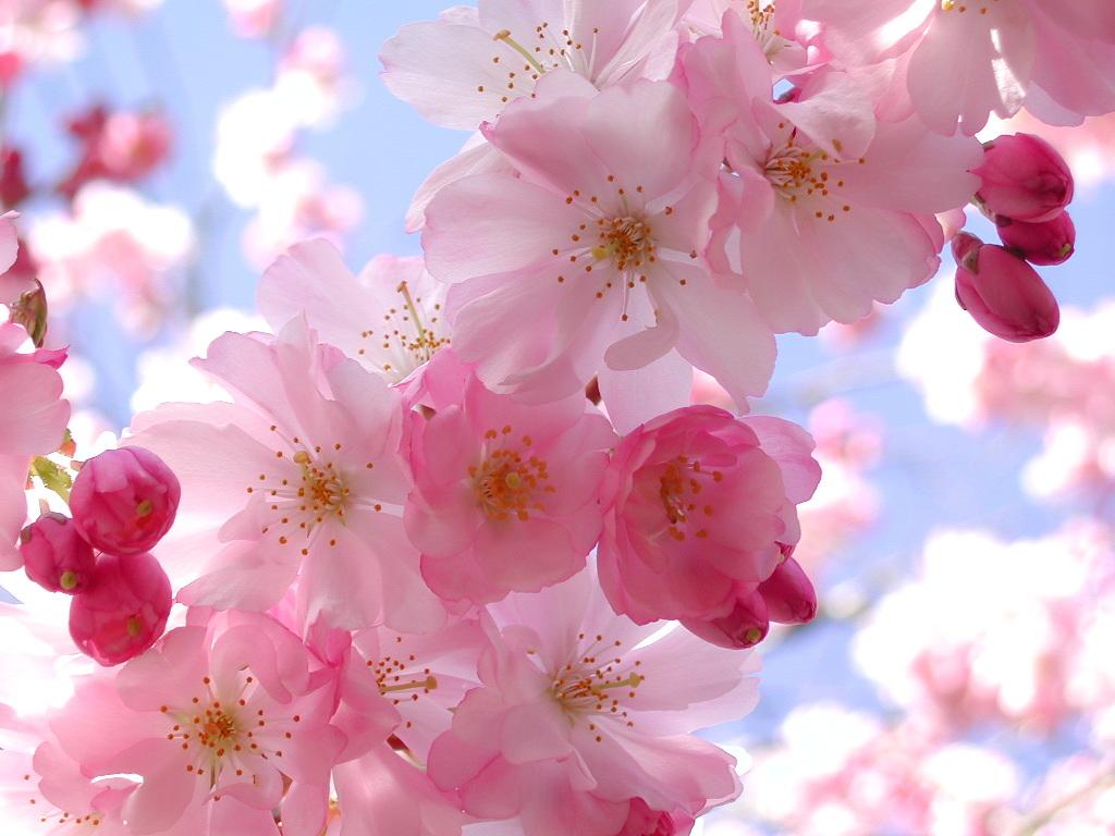 Cherry Blossoms Wallpaper Cherry Blossoms Card Pretty Wallpaper 1024x768