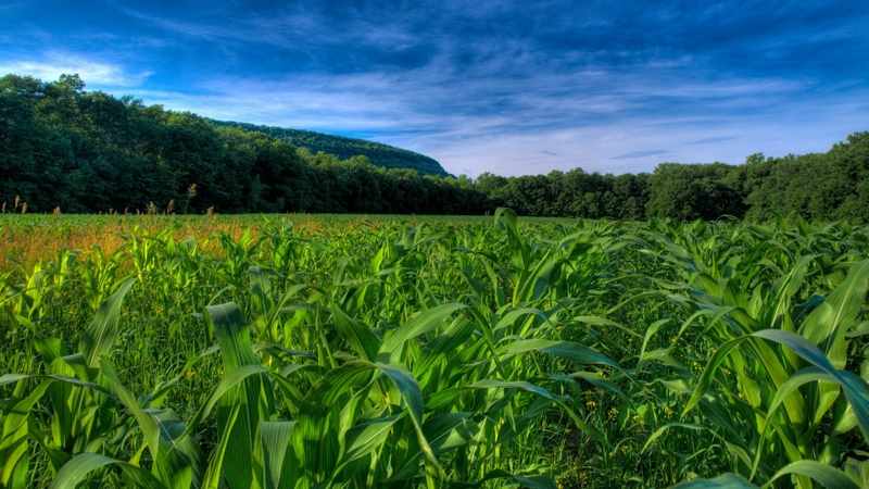 fields corn cornfield 1920x1080 wallpaper Nature Fields HD Desktop 800x450