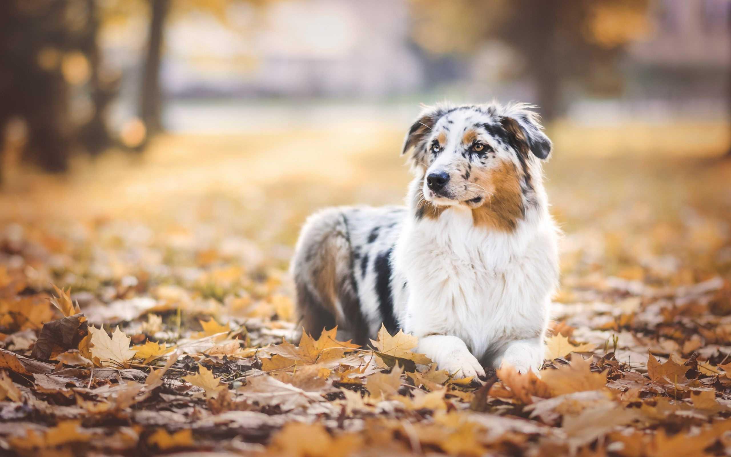 Australian Shepherd Dog Wallpapers Download Best Collection 2560x1600