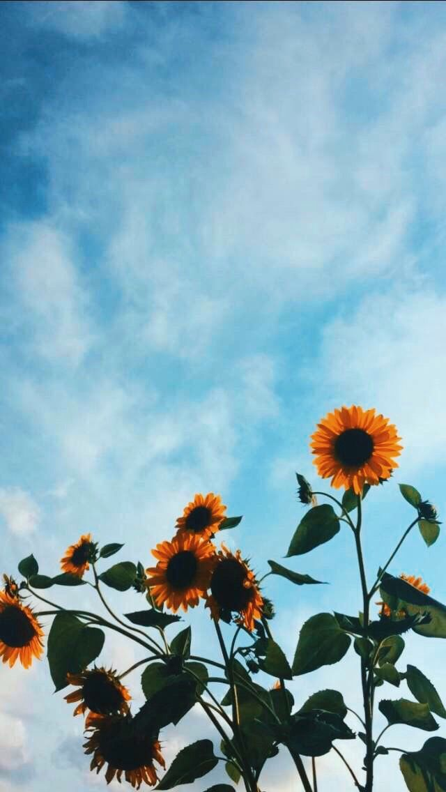 Pin by Farah Mohamed on Wallpaper Sunflower wallpaper Flower 640x1136