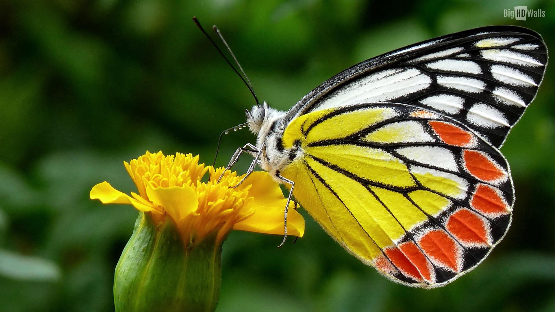 Colorful Butterfly Hd Wallpaper 6 Hd Wallpaper 1920x1080