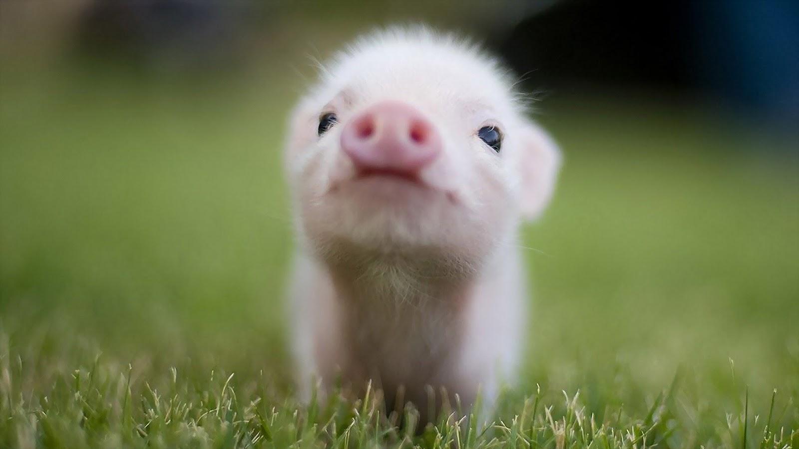 cute baby pigs 11278 hd wallpapersjpgbaby20pigs201600x900 1600x900
