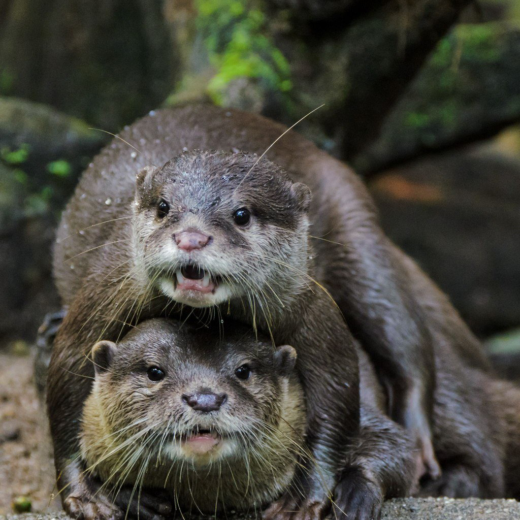 Showing Gallery For Cute Otters Wallpaper 1024x1024