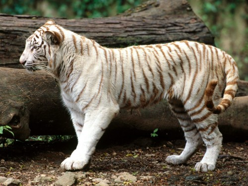 Screensaver Screensavers   Download White Bengal Tiger Screensaver 500x375