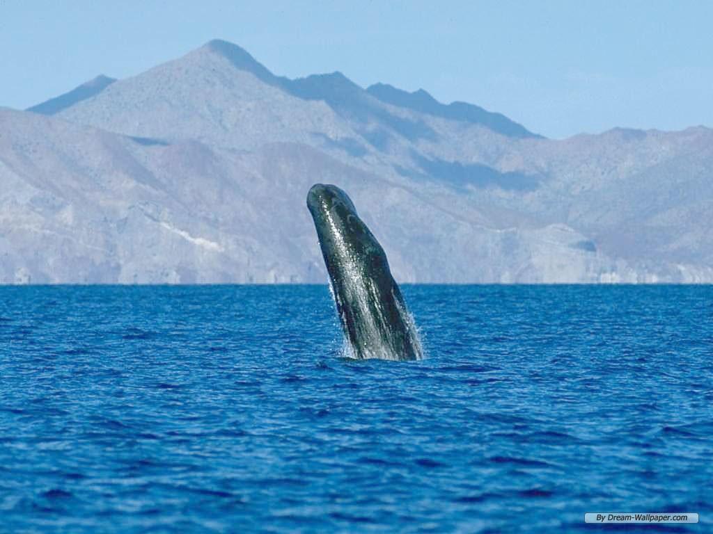 Hump Back Whale   Humpback Whales Wallpaper 32310749 1024x768