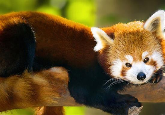 Cute Baby Pandas Wallpaper Panda wallpaper 550x384