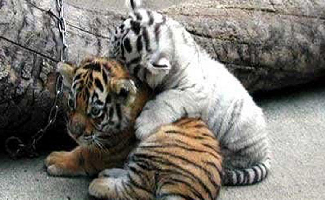 Cute tiger cubs wallpaper   ForWallpapercom 1076x661
