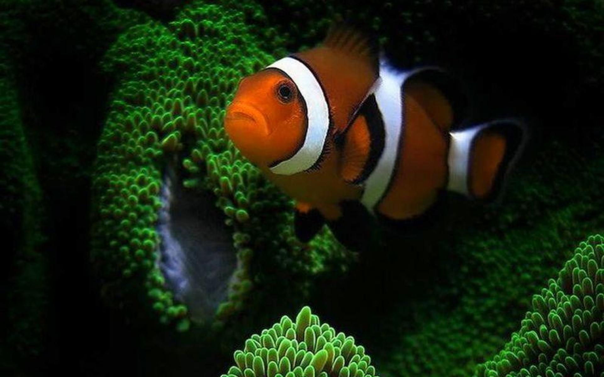 wallpaper clarkii clownfish - photo #43