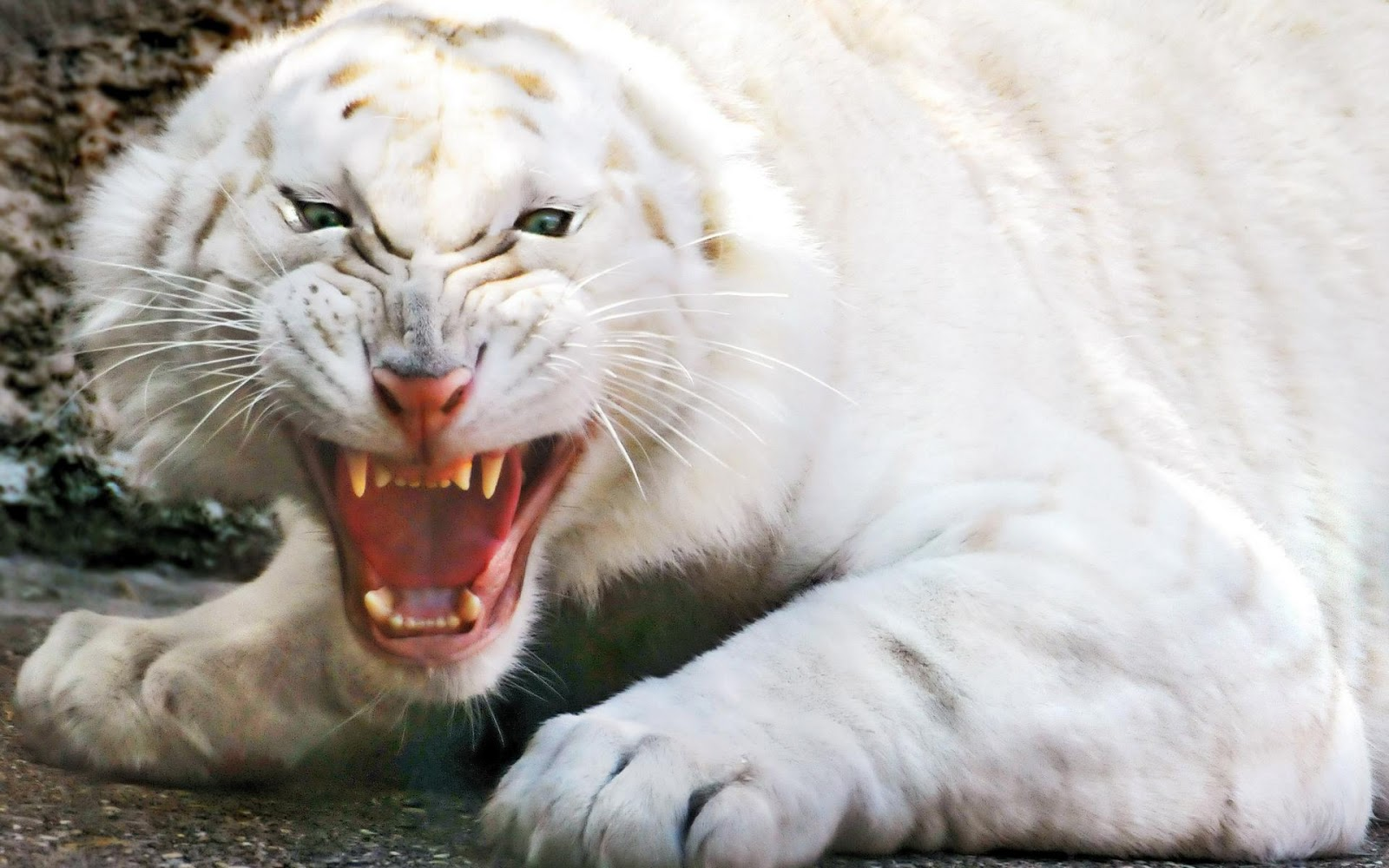 white tiger wallpapers and white tiger backgrounds for your desktop 1600x1000