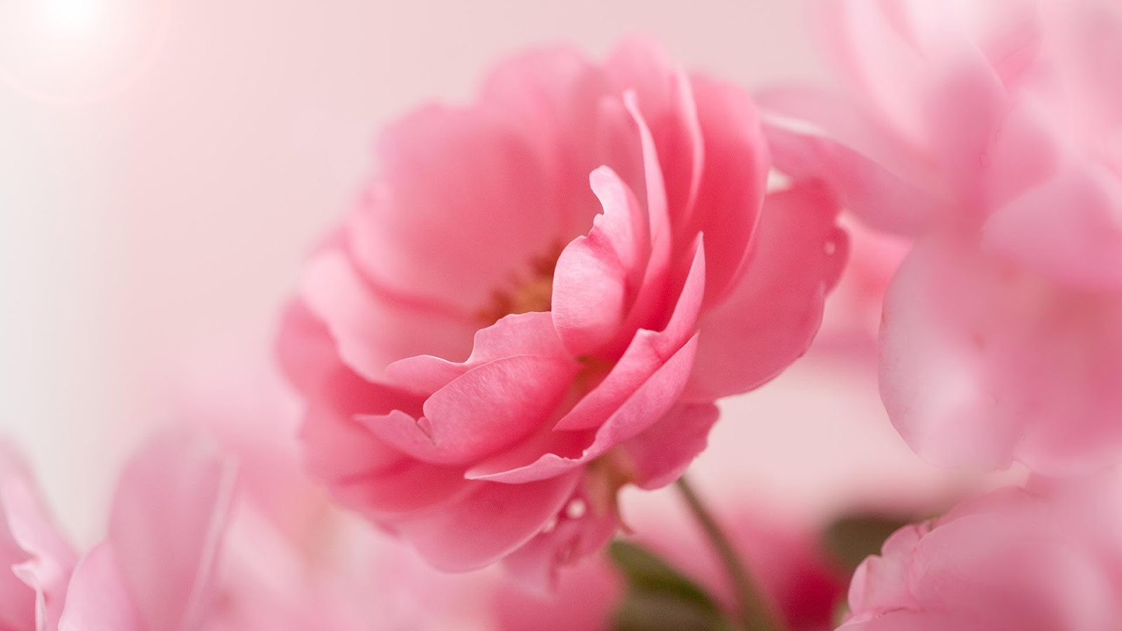 Pink Roses Live Wallpaper   Android Apps on Google Play 1600x900