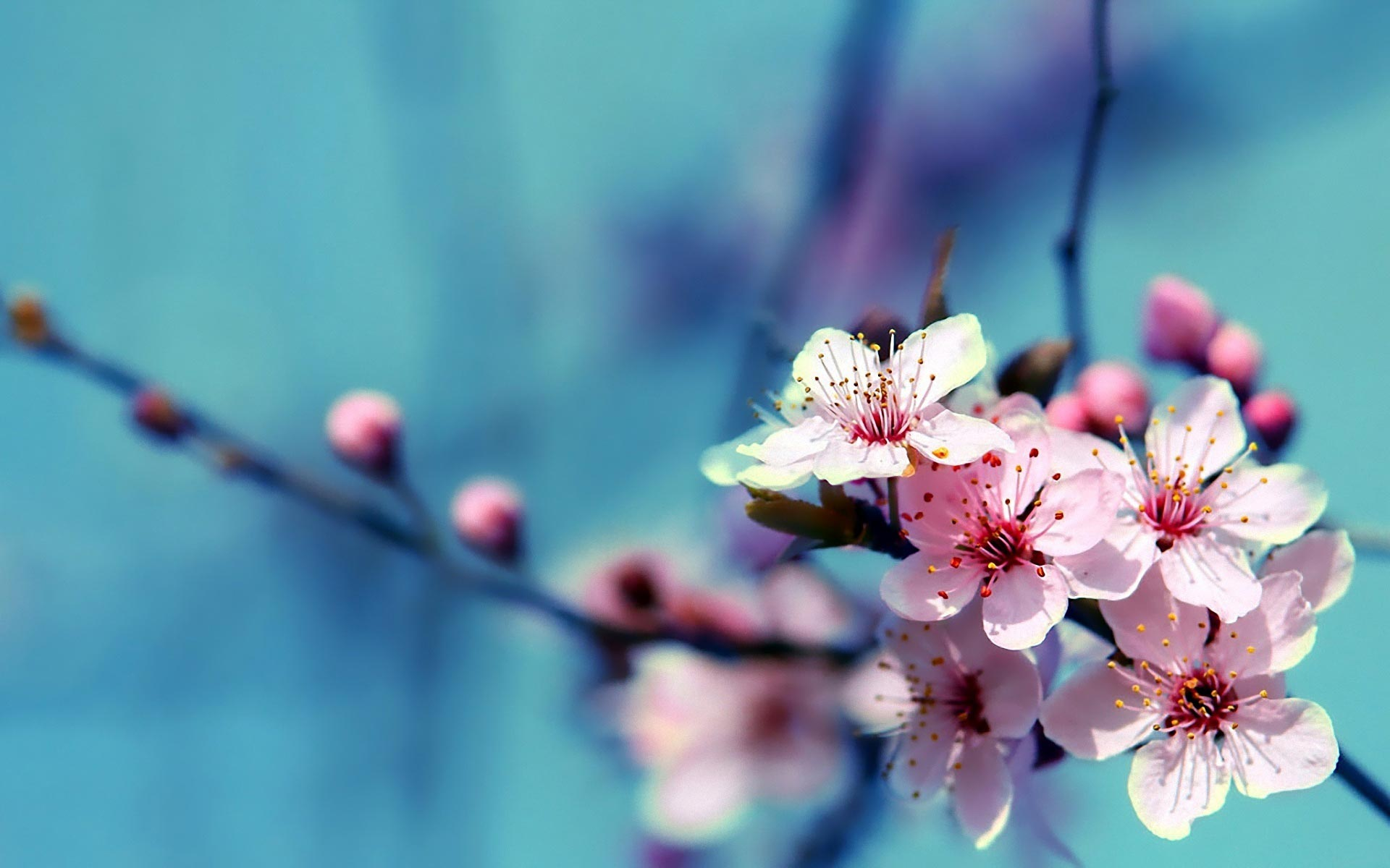 Cherry Flower Full HD Desktop Wallpapers 1080p 1920x1200