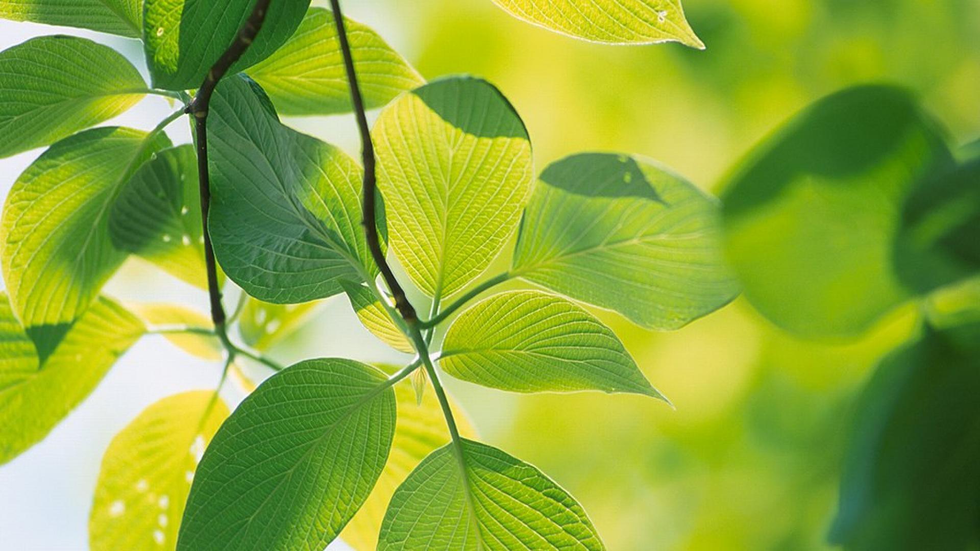 Green Leaf Wallpaper HD - WallpaperSafari