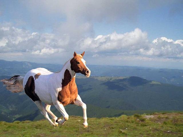 Themes Wallpaper Horses Screensaver Freeware   Smart graceful 640x480