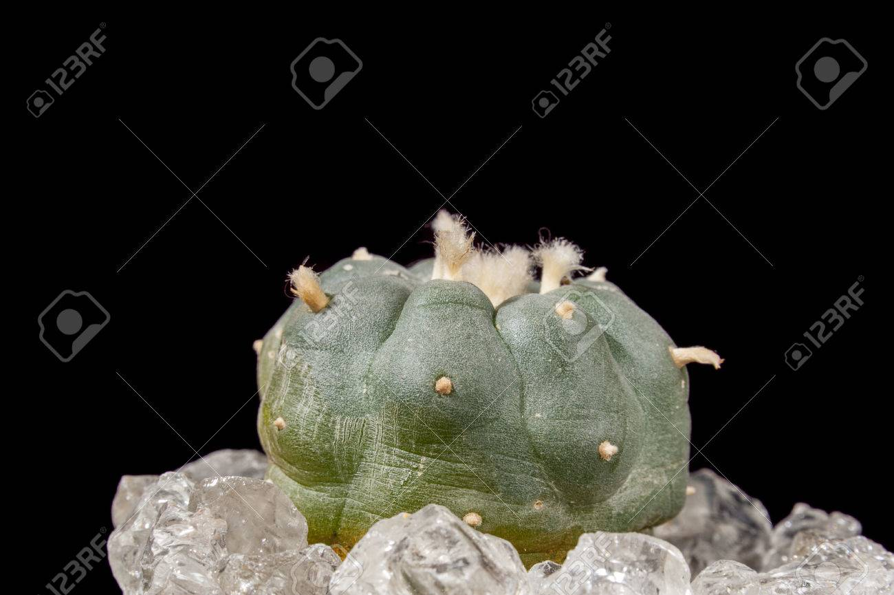 Lophophora Williamsii   Peyote Cactus On Black Background Stock 1300x865