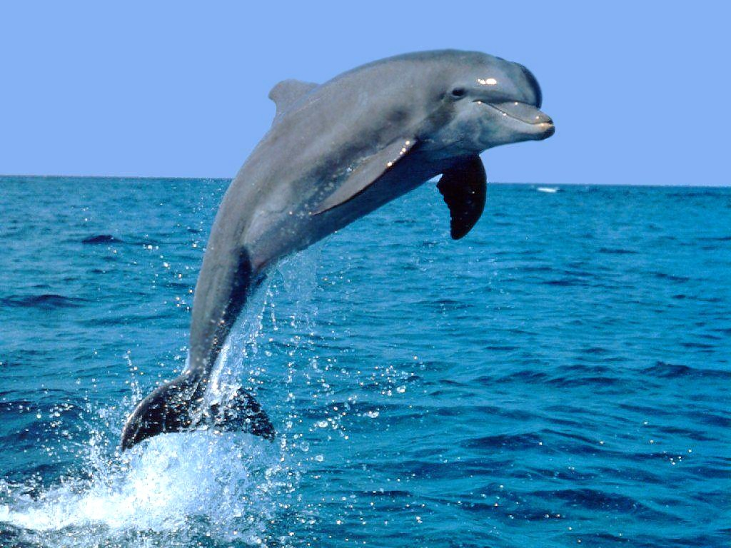 Dolphin 26 Background Full HD Wallpaper HQ Backgrounds HD 1024x768