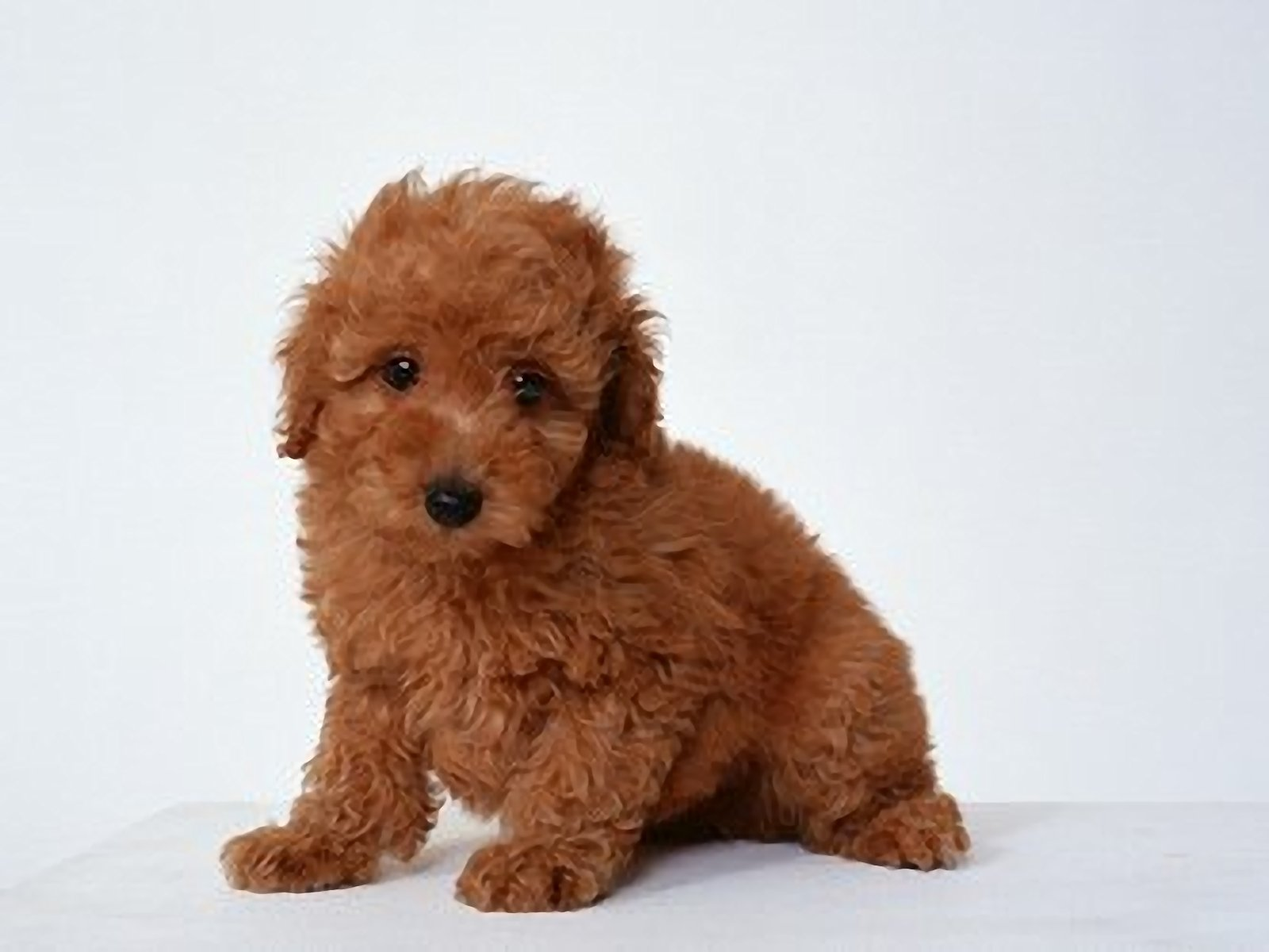 Poodle Lovely 1600x1200 WallpapersPoodle 1600x1200 Wallpapers 1600x1200