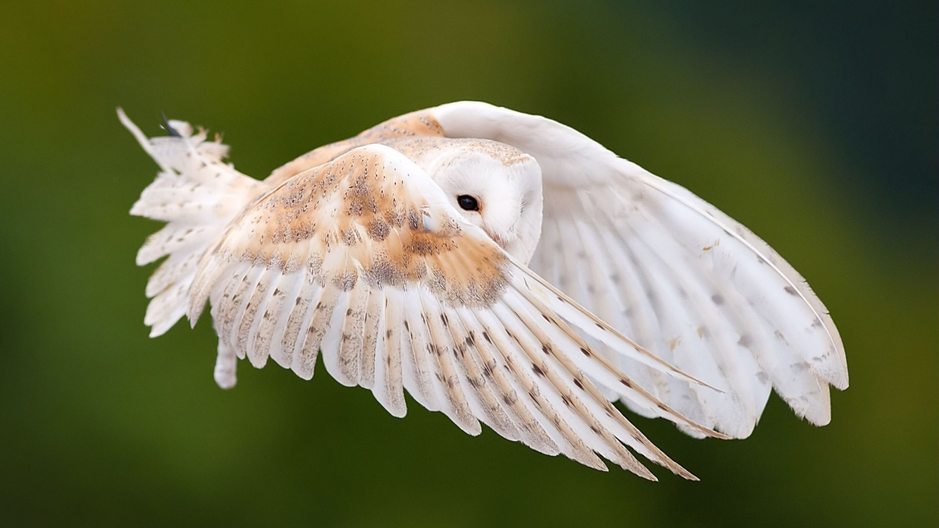 Owl Flying In Sky Wallpapers   1920x1080   426211 1920x1080