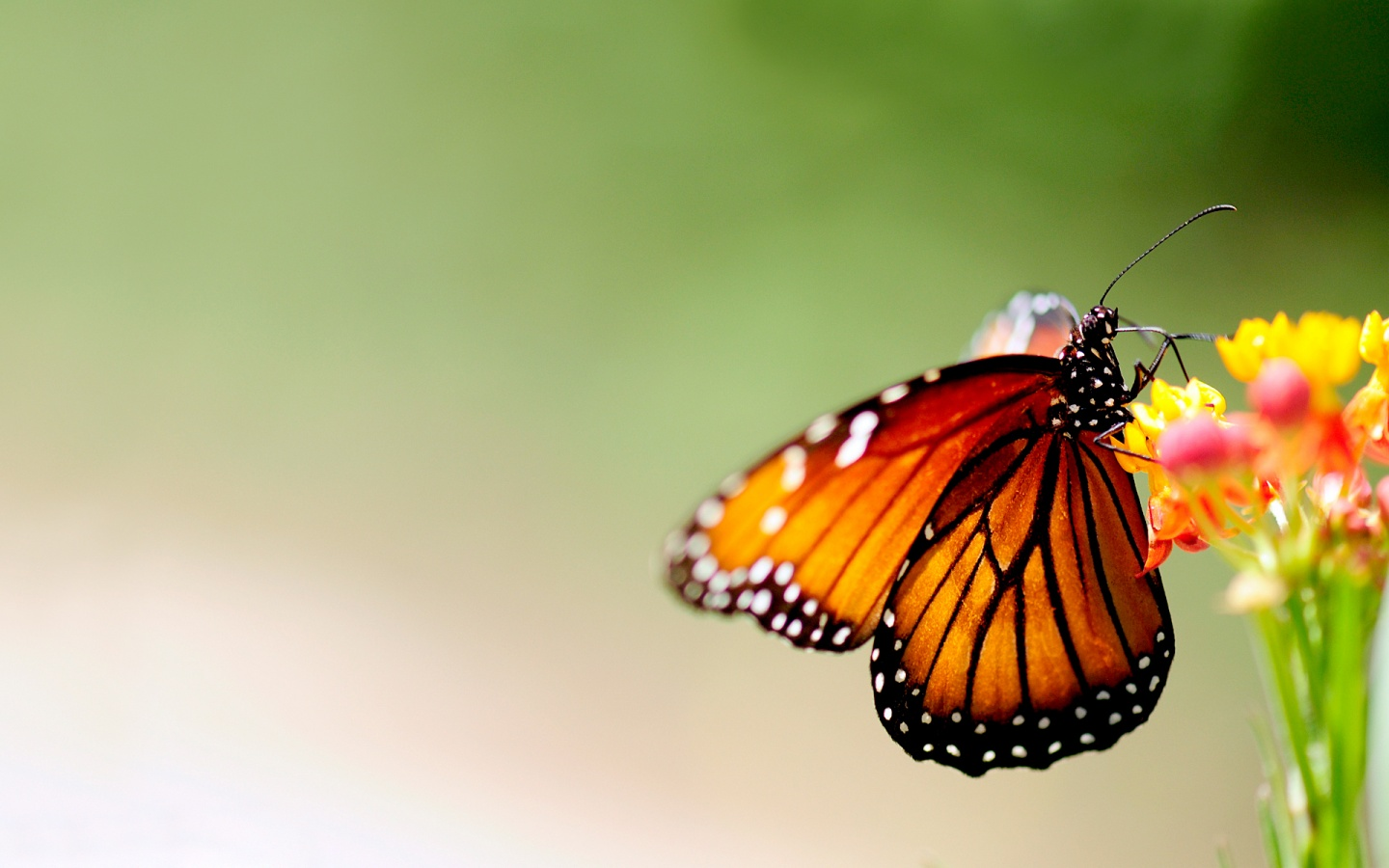 Butterfly On Colorful Flower Wallpapers   1440x900   256117 1440x900