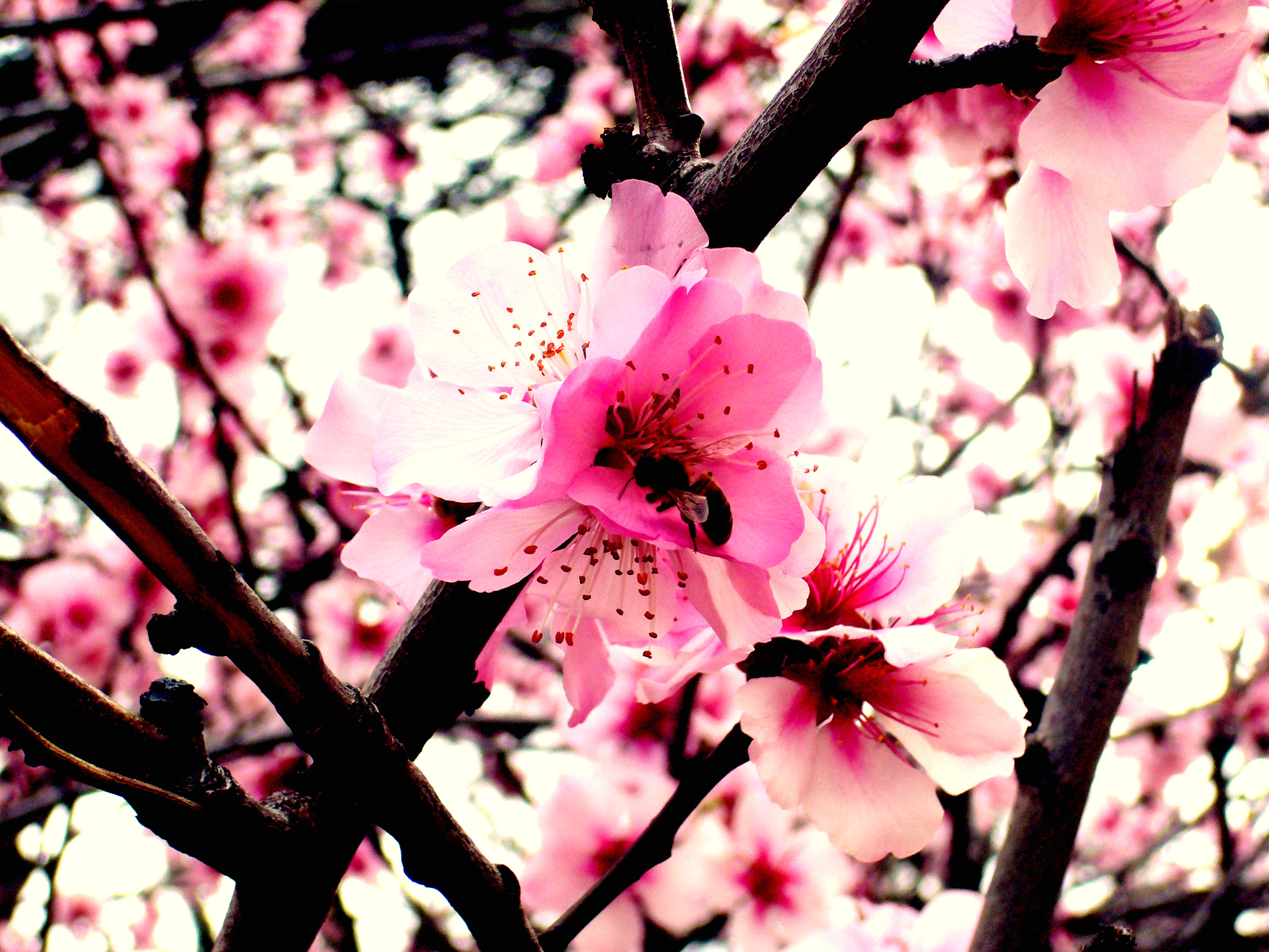 peach blossom wallpaper