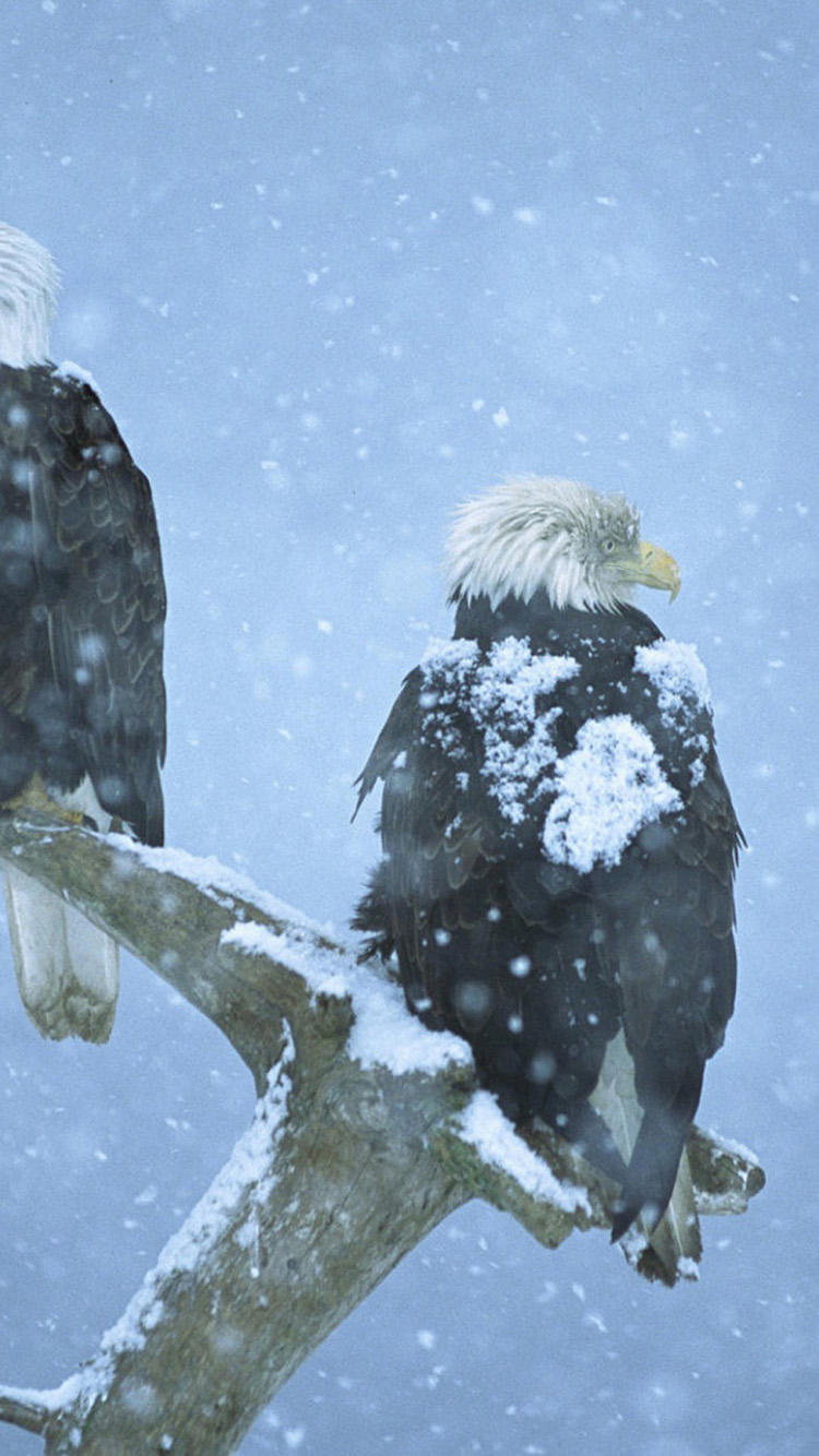 Bald eagles in Alaska iPhone 6 Wallpapers HD Wallpapers For iPhone 6 750x1334