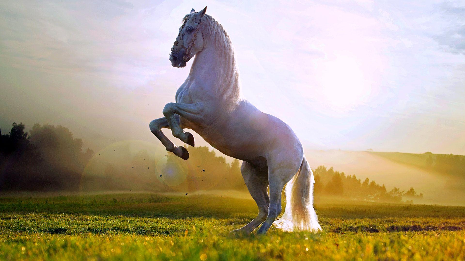 Beautiful white horse standing up wallpaper HD 1080p for Desktop 1920x1080