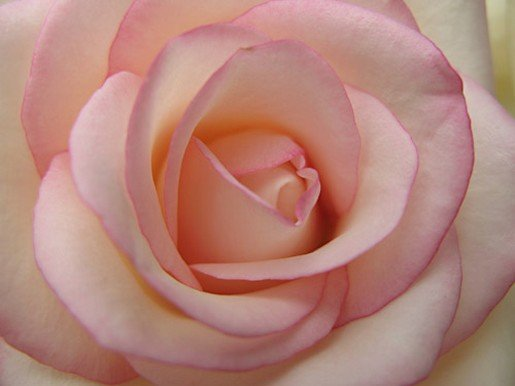 Rose Pictures Online Light Pink Rose Photos 515x386