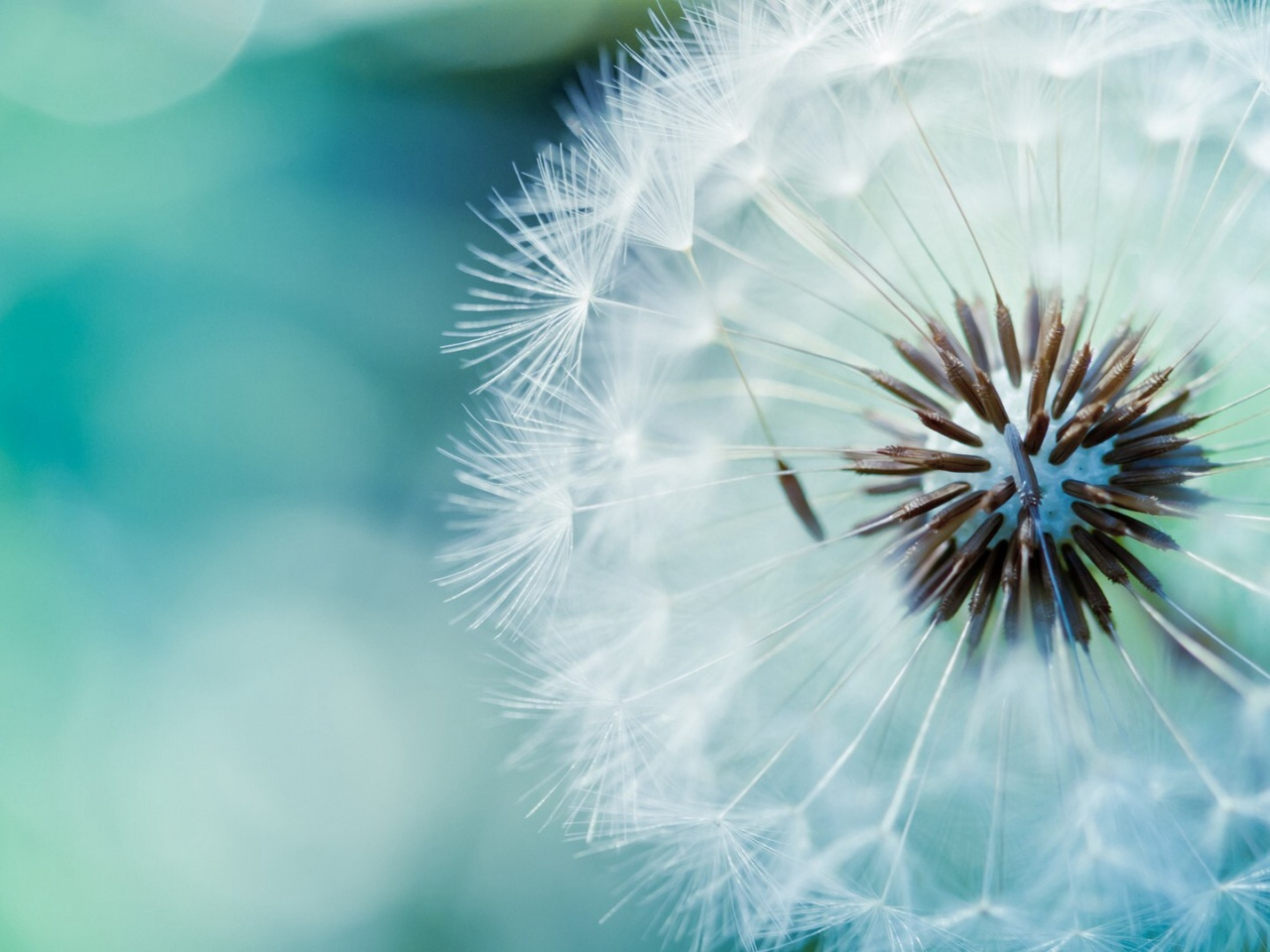 1280x960 Fluffy Dandelion desktop PC and Mac wallpaper 1280x960