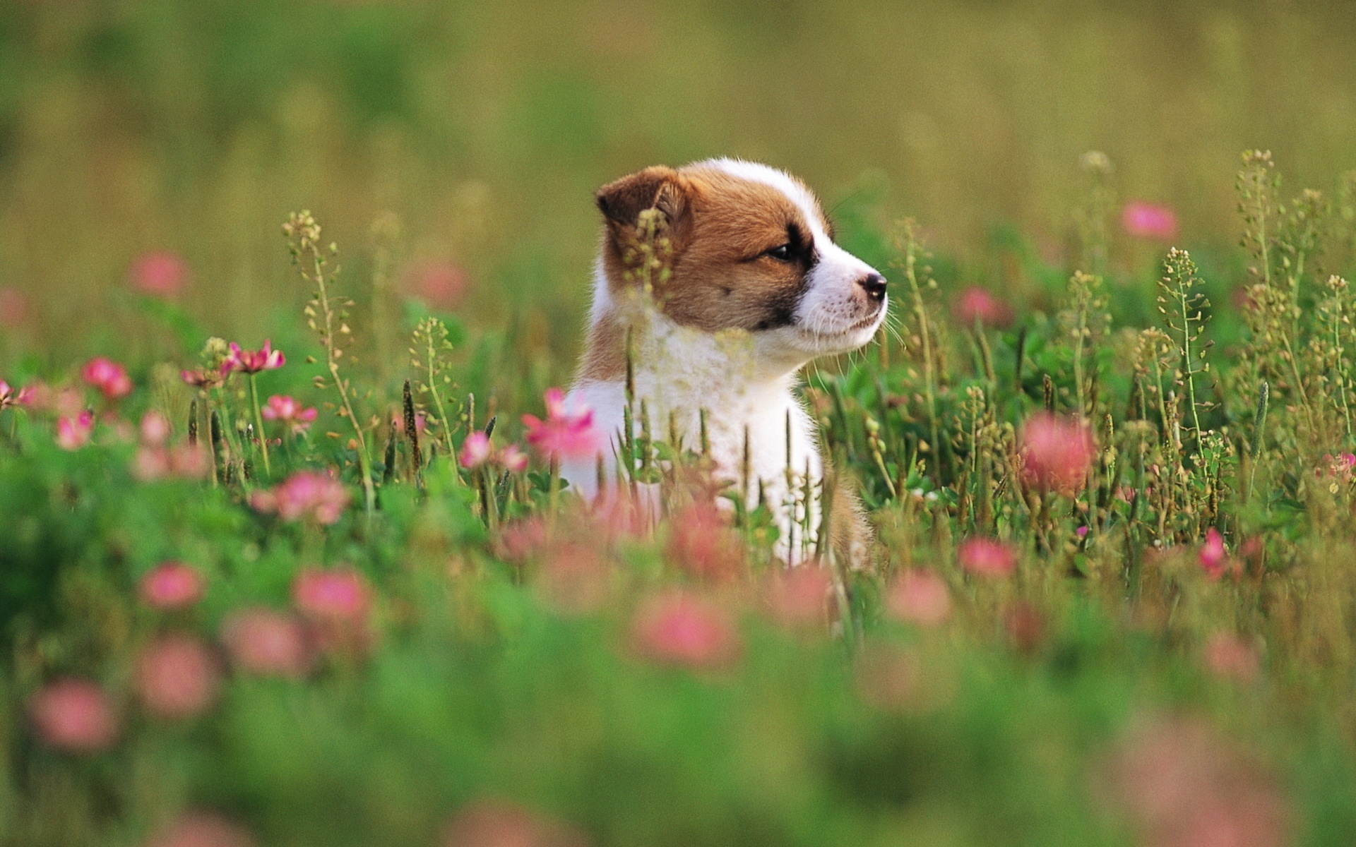 Puppies And Flowers Wallpapers