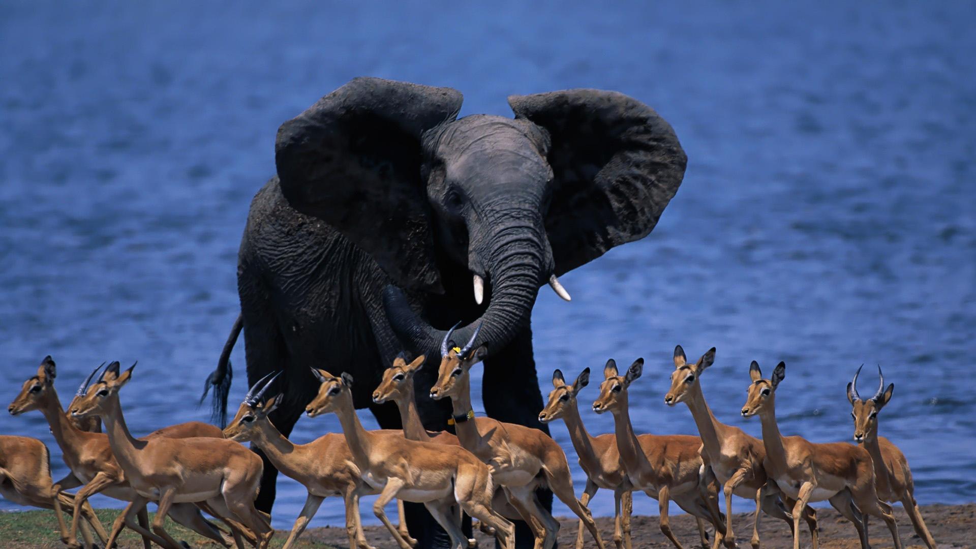 wildlife africa elephant duiker pygmy antelope run 1920x1080