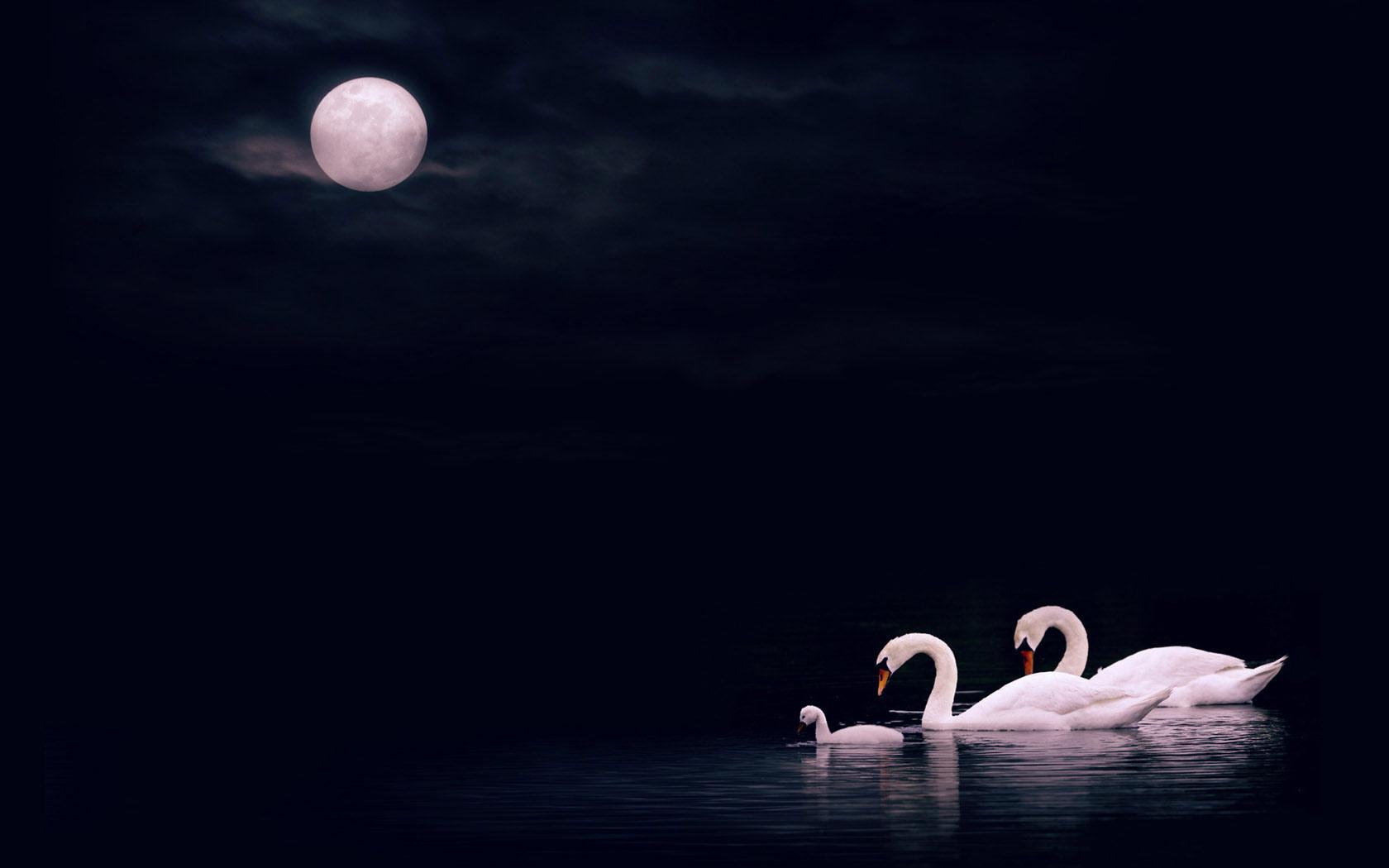 Beautiful Swan Gif Wallpaper for Desktop