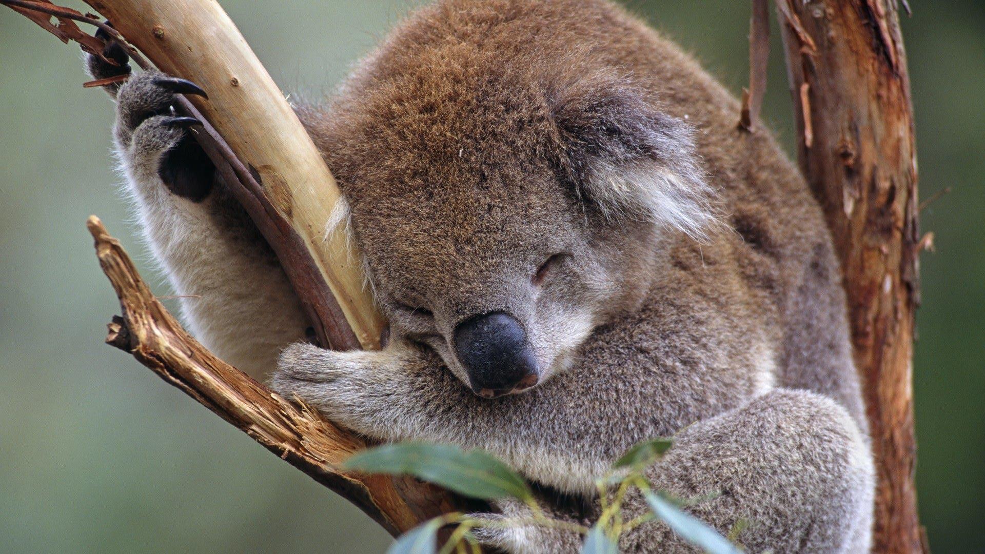Bebe Koala 2017 HD zootopia - YouTube
