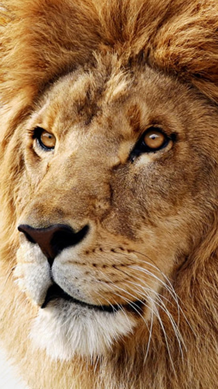Lion 01 iPhone 6 Wallpaper iPhone 6 Wallpapers 750x1334