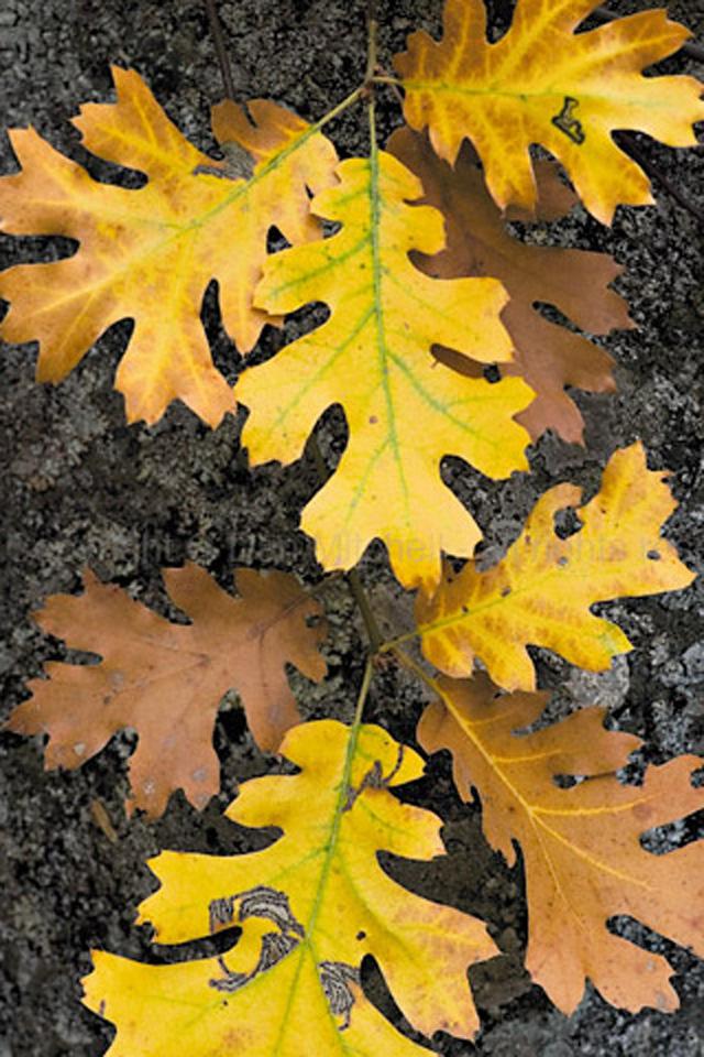 Autumn Leaves iPhone Wallpaper HD 640x960