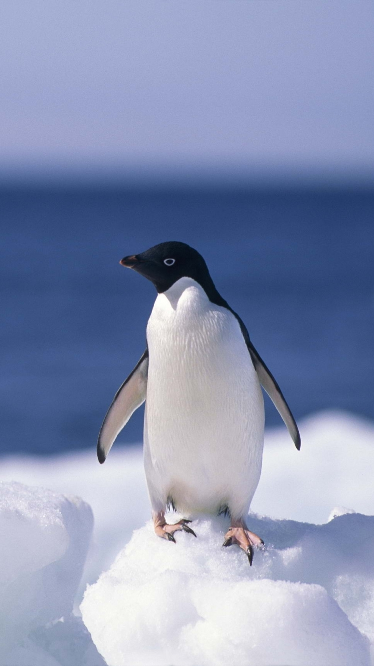 AnimalPenguin 750x1334 Wallpaper ID 606378   Mobile Abyss 750x1334