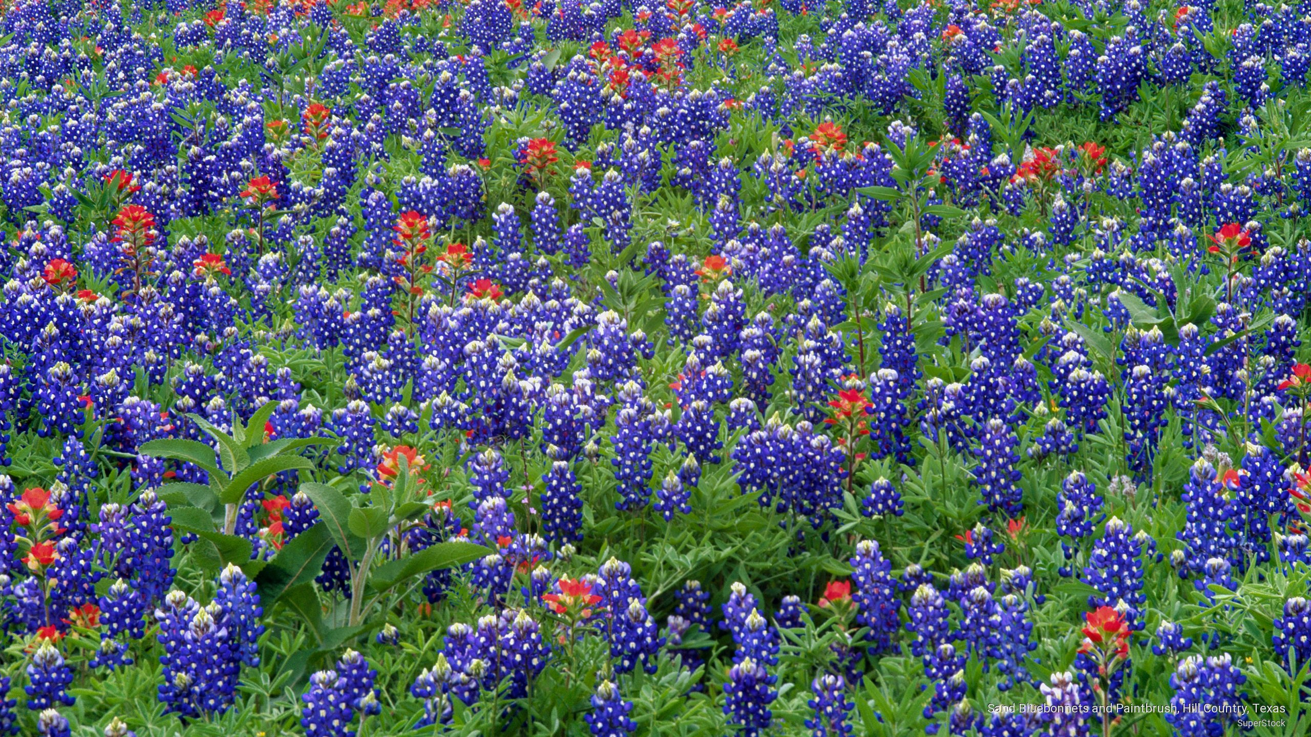 Wallpaper   Sand Bluebonnets and Paintbrush Hill Country Texas 2560x1440