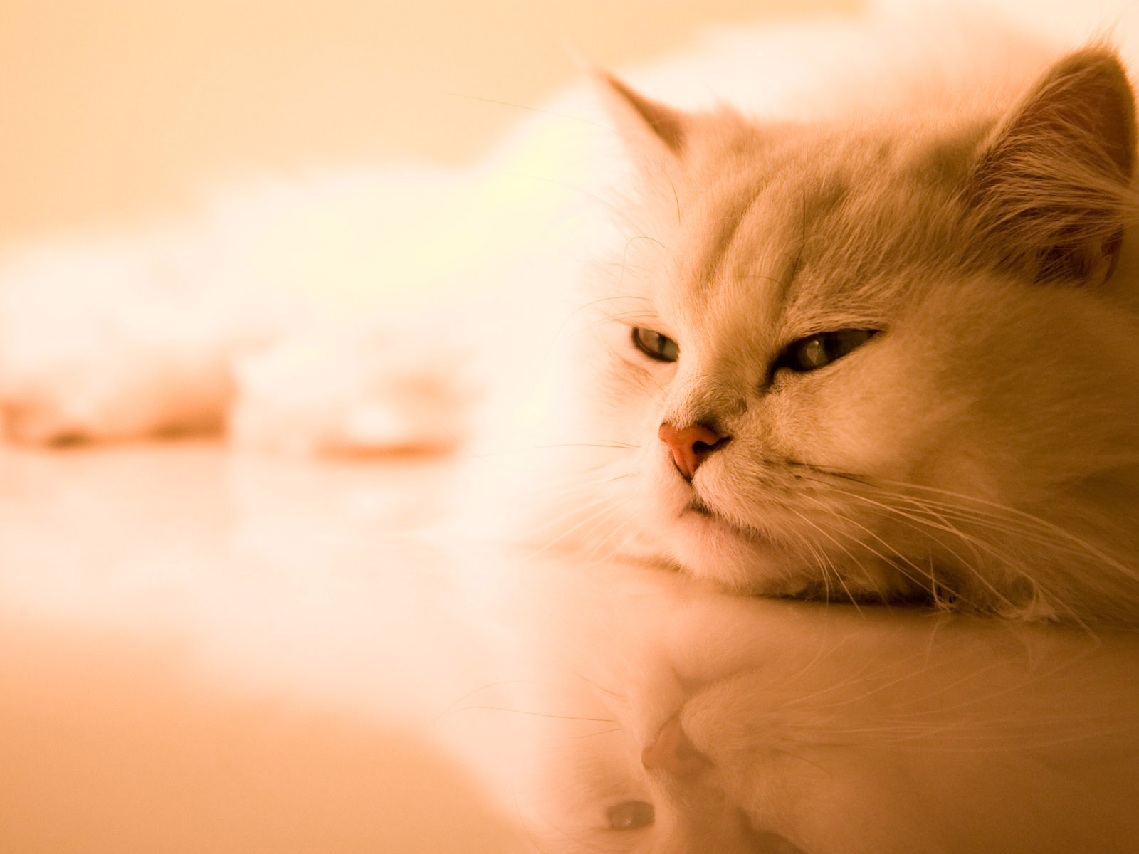 Beautiful cat wallpapers and images   wallpapers pictures photos 1600x1200