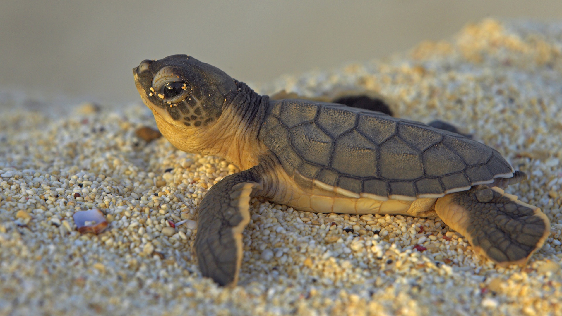 Baby Turtle Wallpapers   1920x1080   534261 1920x1080