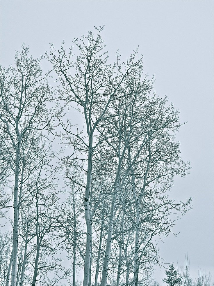 Birch trees   Thorsby Alberta CANADA Photographed by Michelle 736x981