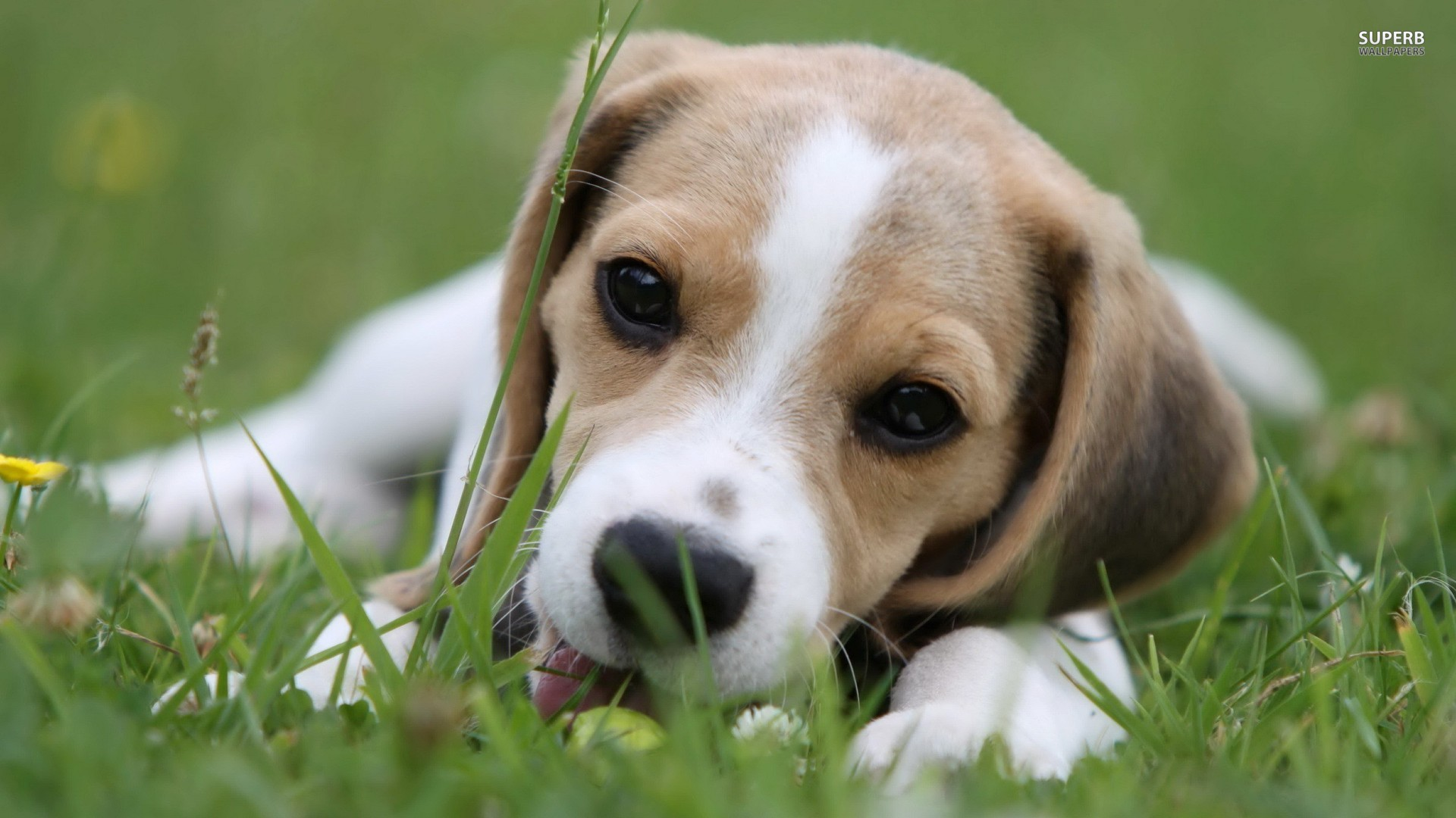 Cute beagle dog lying on the grass wallpapers and images   wallpapers 1920x1080